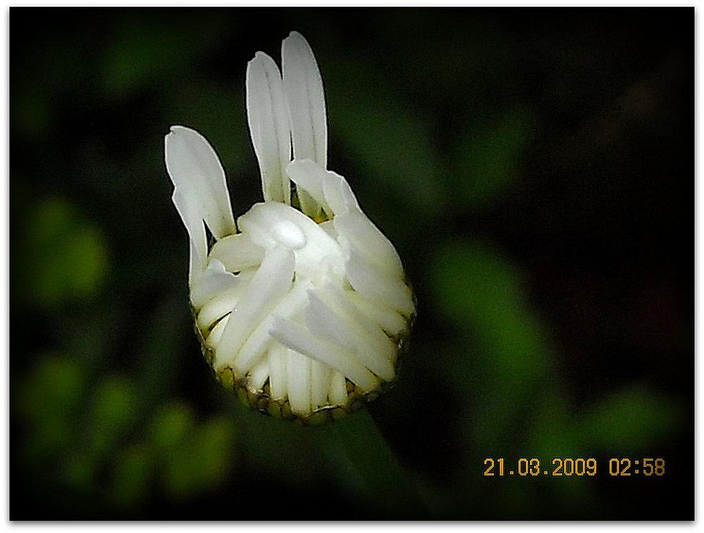 Fleur qui éclot